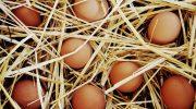 Organik Yumurta Üretmeye Başladı!